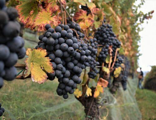You are Gropello: per salvare il vino rosso della Val di Non