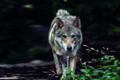 Attenti al lupo! Attenti all'uomo?