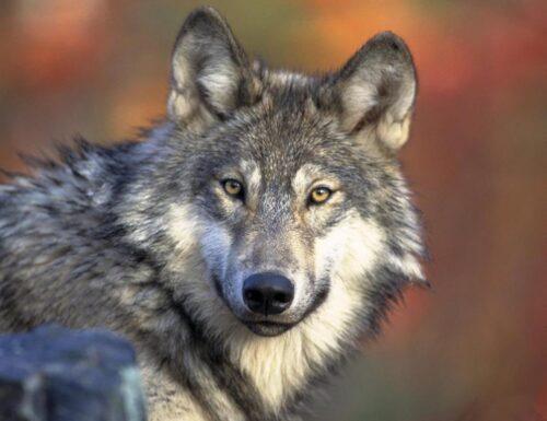 Il lupo in Alto Adige: se ne parlerà il 30 marzo con l'esperto Davide Righetti